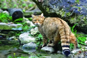 European-wildcat-standing-alert-on-rocks-by-water