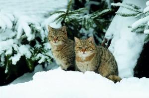 Wildcat-pair-in-winter-habitat