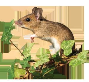 Sylvaemus sylvaticus