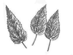 Листя кропиви дводомної
