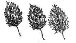 Листя кропиви пекучої