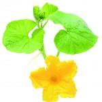 цветок-тыквы-32428740
