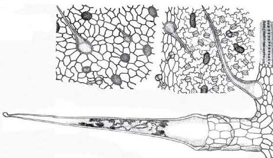 Мікроскопічне зображення листка кропиви